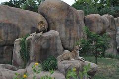León y leona en rocas Foto de archivo