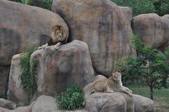 León y leona en rocas Foto de archivo libre de regalías