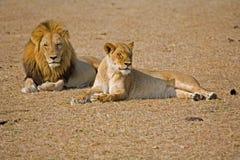 León y leona junto Imagenes de archivo