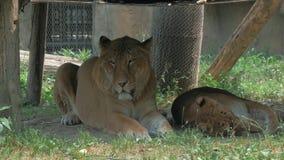 León y leona que colocan en la sombra debajo de un toldo en parque zoológico en un brillante, caliente, día soleado metrajes