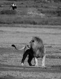 León y pájaro de vuelo Foto de archivo