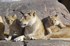 Leões Fotografia de Stock Royalty Free