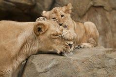 Leões Foto de Stock