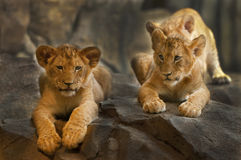 Leões Foto de Stock Royalty Free