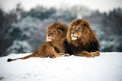 Leões Fotos de Stock