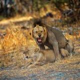 leões Imagens de Stock Royalty Free