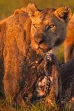 leões Imagem de Stock Royalty Free
