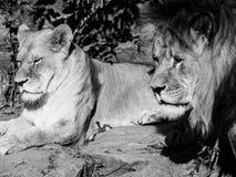 leões Imagem de Stock