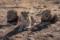3 leões Fotografia de Stock Royalty Free