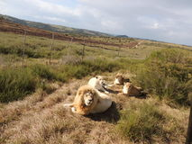 Leões brancos fotografia de stock