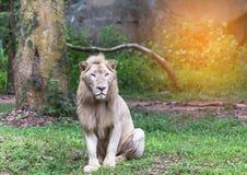 Leões brancos masculinos que sentam o abrandamento Fotografia de Stock Royalty Free
