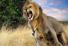 Leões de acoplamento Fotos de Stock Royalty Free