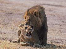 Leões de acoplamento Fotografia de Stock Royalty Free