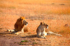 Leões de acoplamento no Masai Mara Imagem de Stock