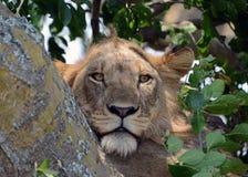 Leões de escalada da árvore de Uganda Fotografia de Stock Royalty Free