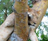 Leões de escalada da árvore de Uganda Fotografia de Stock