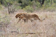 Leões de lado a lado Imagens de Stock Royalty Free
