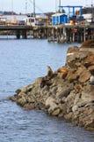 Leões de mar Fotos de Stock Royalty Free