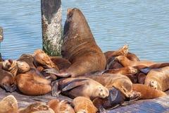 Leões de mar Foto de Stock Royalty Free