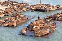 Leões de mar Foto de Stock