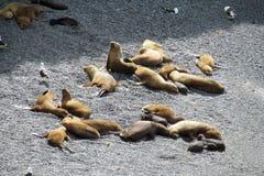 Leões de mar Fotografia de Stock
