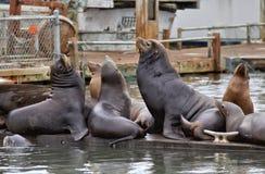 Leões de mar Imagem de Stock