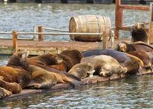 Leões de mar Fotografia de Stock Royalty Free