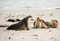 Leões de mar australianos Fotografia de Stock