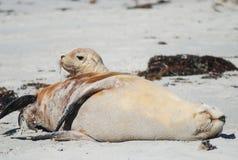 Leões de mar, mam e bebê australianos, ilha do canguru, Austrália Imagens de Stock Royalty Free