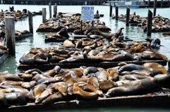 Leões de mar, cais 39 Fotografia de Stock Royalty Free