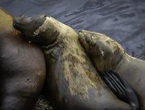 Leões de mar de Califórnia Imagem de Stock