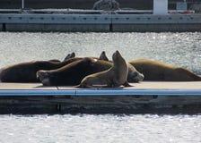 Leões de mar de Califórnia na doca Foto de Stock Royalty Free