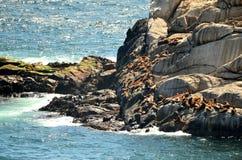 Leões de mar, cidade de Viña Del Mar, pimentão Imagens de Stock