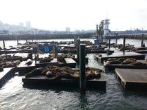 Leões de mar da cidade Fotos de Stock