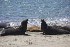Leões de mar de Califórnia Fotografia de Stock