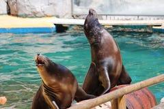 Leões de mar de Califórnia Fotografia de Stock Royalty Free
