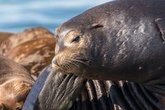 Leões de mar de Califórnia que descansam na doca de flutuação Fotos de Stock Royalty Free