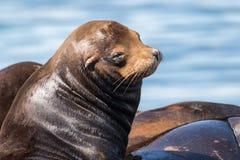Leões de mar de Califórnia que descansam na doca de flutuação Fotografia de Stock