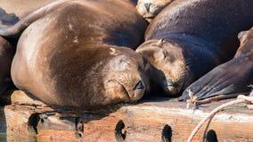 Leões de mar de Califórnia que descansam na doca de flutuação Foto de Stock Royalty Free
