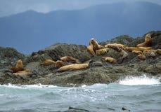 Leões de mar de Califórnia - som de Clayoquot Fotografia de Stock