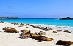 Leões de mar de Galápagos Fotografia de Stock Royalty Free