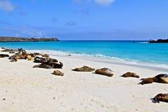 Leões de mar de Galápagos Fotos de Stock Royalty Free