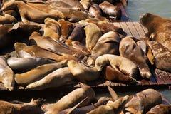 Leões de mar de San Francisco Imagem de Stock Royalty Free