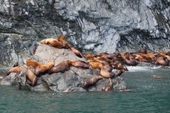 Leões de mar de Steller Imagem de Stock