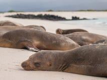 Leões de mar do sono fotografia de stock