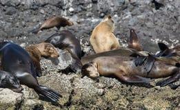 Leões de mar do sono Fotos de Stock