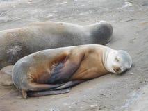 Leões de mar do sono Imagem de Stock