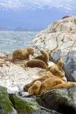 Leões de mar do sul, Tierra Del Fuego, Ushuaia, Argentina Imagens de Stock