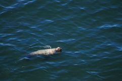 Leões de mar em Oregon fotos de stock royalty free