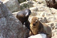 Leões de mar em rochas Imagens de Stock
